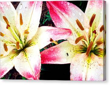 Dual Pinks II Canvas Print by Amanda Kiplinger
