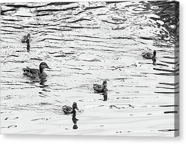 Duck And Ducklings Canvas Print