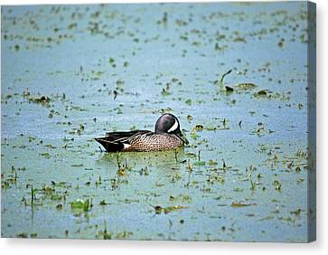 Canvas Print featuring the photograph Duck Bluegreen by Teresa Blanton