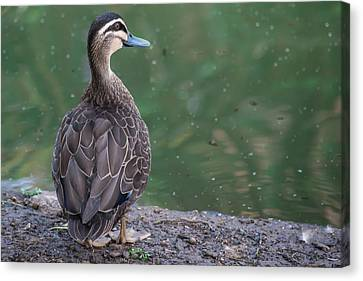 Duck Look Canvas Print