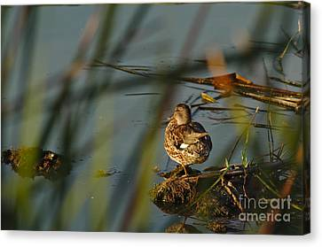 Calm Canvas Print - Duck Waiting For Sunset by Angelo DeVal