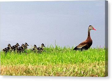 Duck Walk Canvas Print