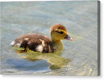 Duckling 7 Canvas Print by Teresa Blanton