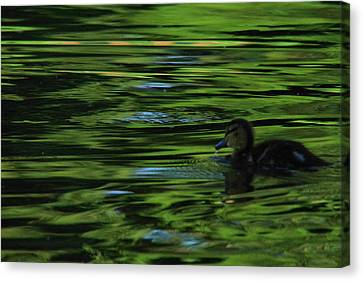 Duckling In The Sunset Canvas Print