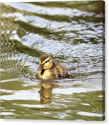 Duckling Paddling In The Sunshine Canvas Print