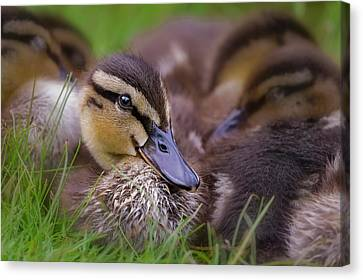 Canvas Print featuring the photograph Ducklings Cuddling by Susan Candelario