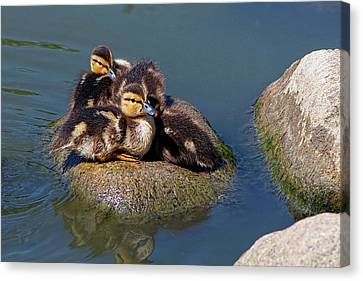 Ducklings On A Rock Canvas Print by Sharon Talson