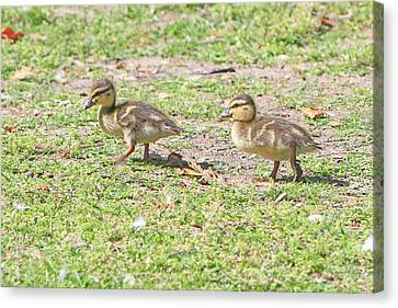 Ducklings On The Grass Canvas Print by Shoal Hollingsworth