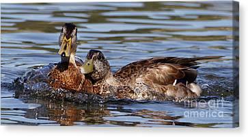 Ducks And Bubbles Canvas Print by Sue Harper