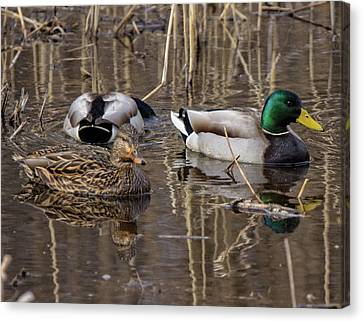 Canvas Print featuring the photograph Ducks At Bombay Hook by Robert Pilkington
