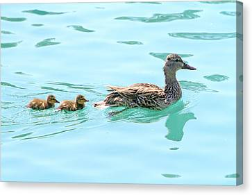 Ducks In A Row Canvas Print by Shoal Hollingsworth