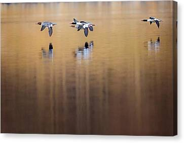 Ducks In Flight Canvas Print by Bill Wakeley