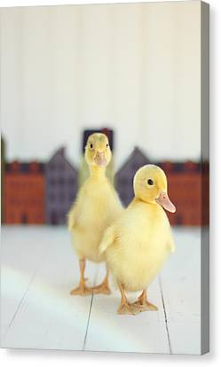 White Birds Canvas Print - Ducks In The Neighborhood by Amy Tyler