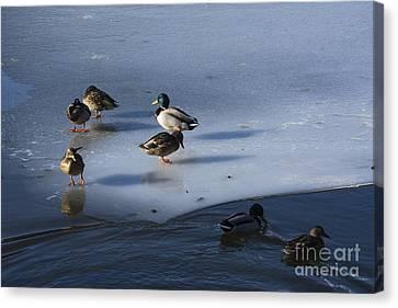 Ducks Mallard On Afrozen Lake Canvas Print by Bernard Jaubert