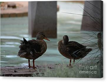 Ducks Standing On The Edge Of A Pond  Canvas Print by Ruth Housley
