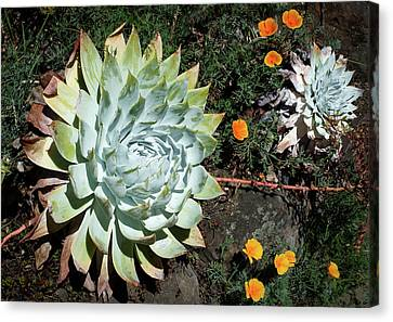 Canvas Print featuring the photograph Dudleya And California Puppy by Catherine Lau