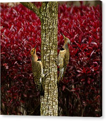Dueling Woodpeckers Canvas Print