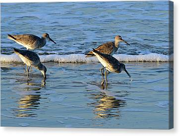 Dunking Willets Canvas Print by Bruce Gourley