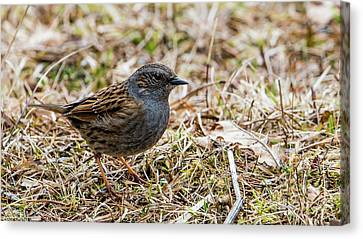 Canvas Print featuring the photograph Dunnock by Torbjorn Swenelius