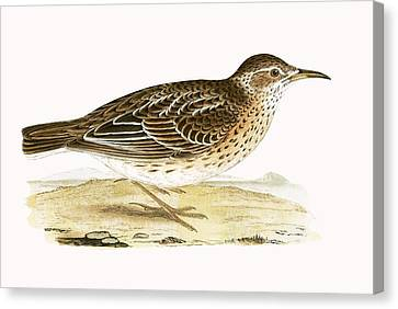 Dupont's Lark Canvas Print by English School