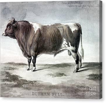 Durham Bull, 1856 Canvas Print by Granger