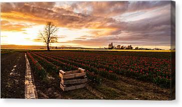 Dusk Golden Light In The Tulip Fields Canvas Print