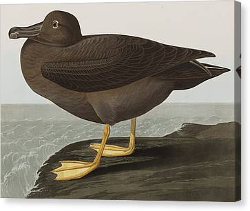Dusky Albatros Canvas Print