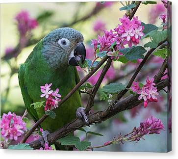 Dusky Conure In Flowers Canvas Print by Angie Vogel