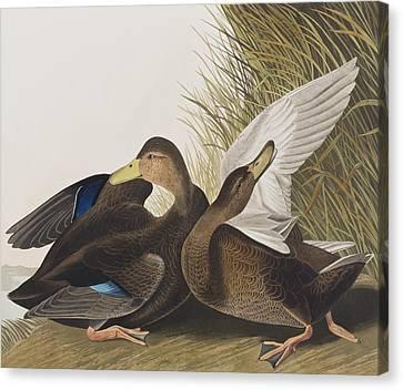 Dusky Duck Canvas Print