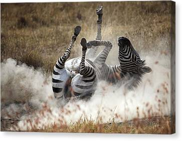 Zebra Canvas Print - Dust Bath by Michel Guyot