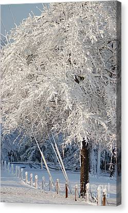 Dusted With Powdered Sugar Canvas Print by Donna Bentley