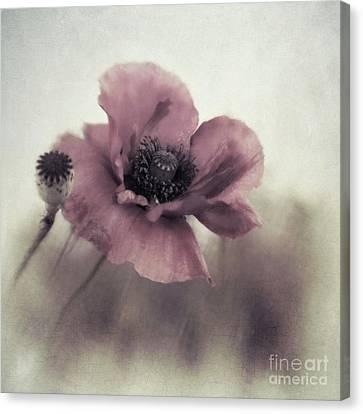 Dusty Pink Poppy Canvas Print