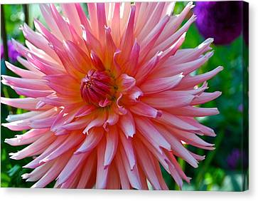 Dusty Rose Dahlia  Canvas Print