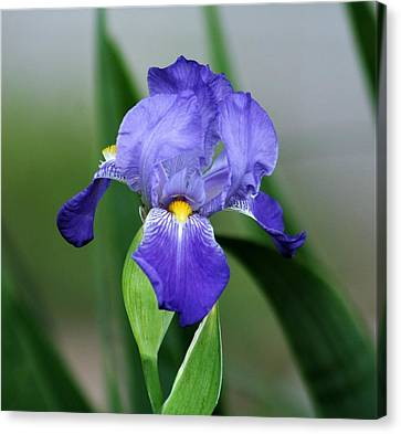 Dwarf Iris 9834_2 Canvas Print