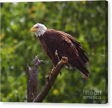 Eagle-2 Canvas Print by Robert Pearson