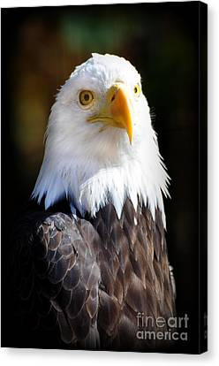 Eagle 23 Canvas Print by Marty Koch
