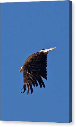 Canvas Print featuring the photograph Eagle Dive by Linda Unger