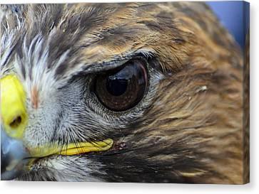 Eagle Eye Canvas Print by Rainer Kersten
