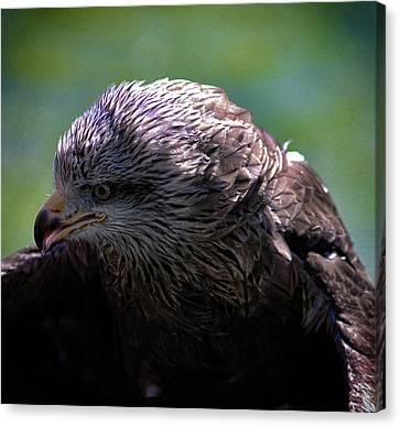 Eagle Eyes Canvas Print by Martin Newman