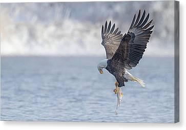 Eagle Fishing  Canvas Print by Kelly Marquardt