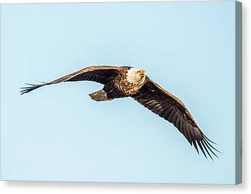 Eagle Front View Canvas Print by Paul Freidlund