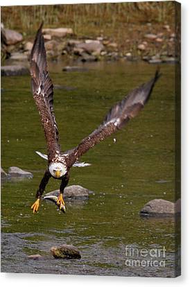 Canvas Print featuring the photograph Eagle Fying With Fish by Debbie Stahre
