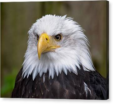 Eagle In Ketchikan Alaska Canvas Print by Michael Bessler
