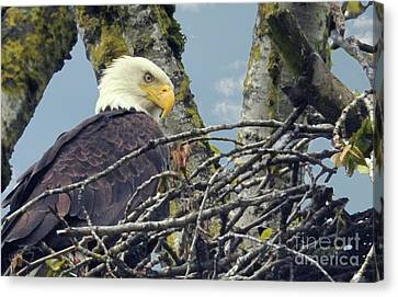 Canvas Print featuring the photograph Eagle In Nest by Rod Wiens