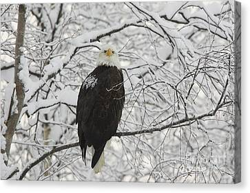 Eagle In Snow Canvas Print by Tim Grams