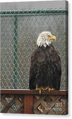Eagle In The Rain Canvas Print by Carolyn Brown