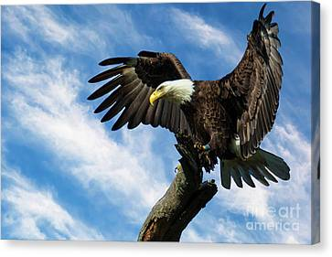 Eagle Landing On A Branch Canvas Print