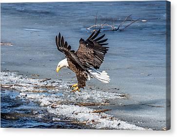 Eagle Landing Canvas Print by Paul Freidlund