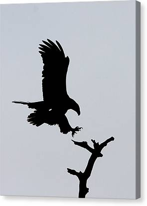 Canvas Print featuring the photograph Eagle Landing by Phil Stone