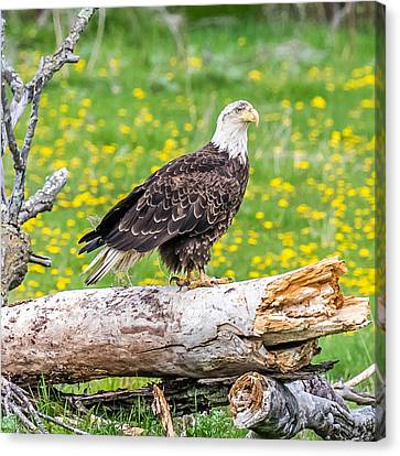 Eagle On A Log Canvas Print by Paul Freidlund